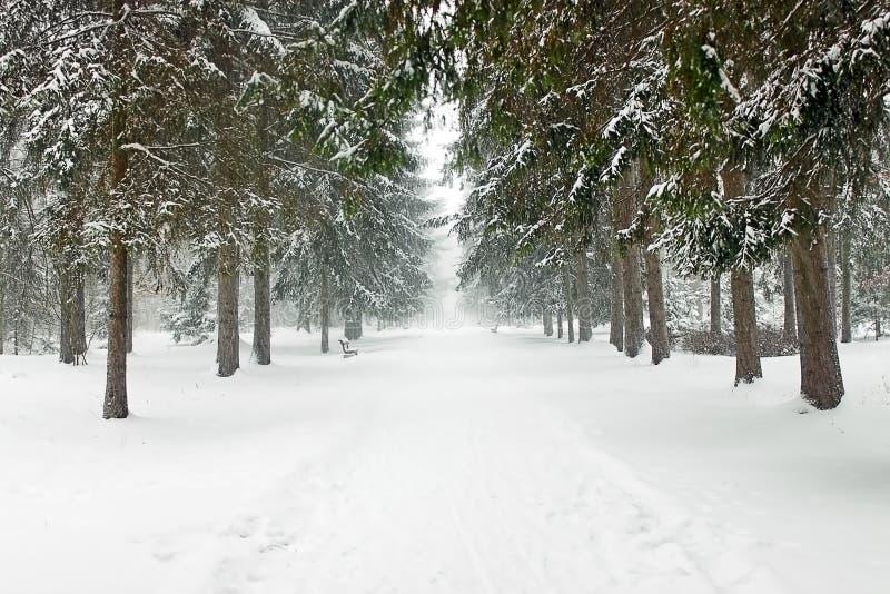 Sapins dans la neige photos libres de droits