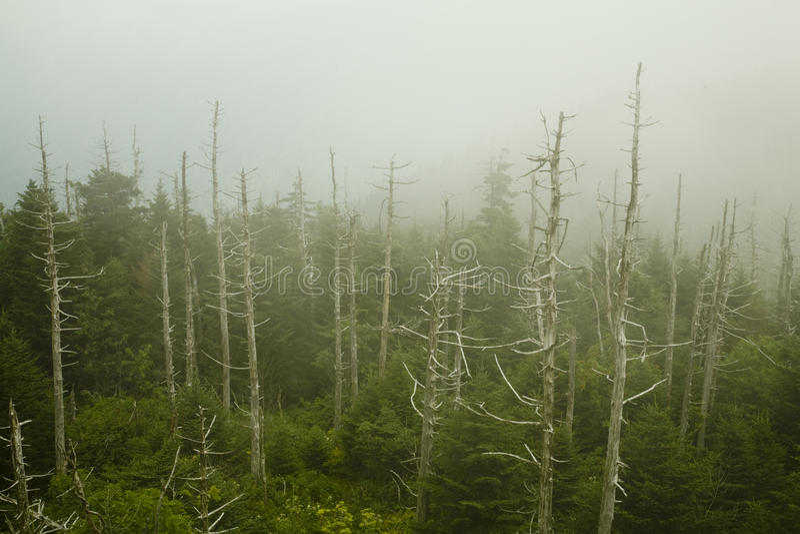 Sapins de Fraser morts, dôme de Clingmans image libre de droits