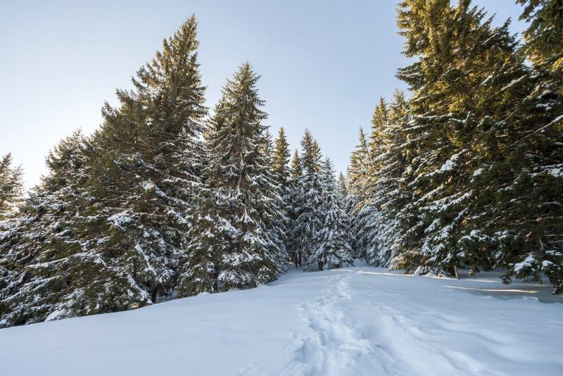 Sapins grands couverts de neige épaisse sous le ciel bleu sur ensoleillé photo stock
