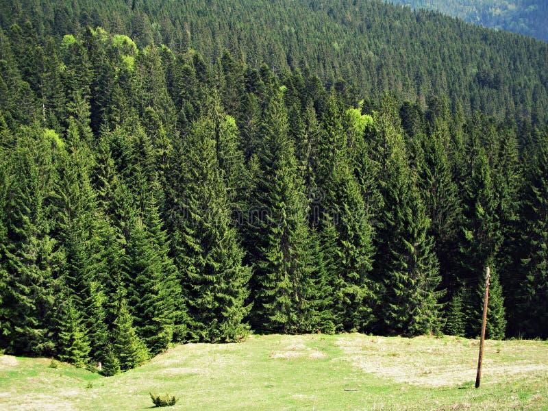 Sapins Montagnes carpathiennes Arbres Été nature sapins l'ukraine photo stock