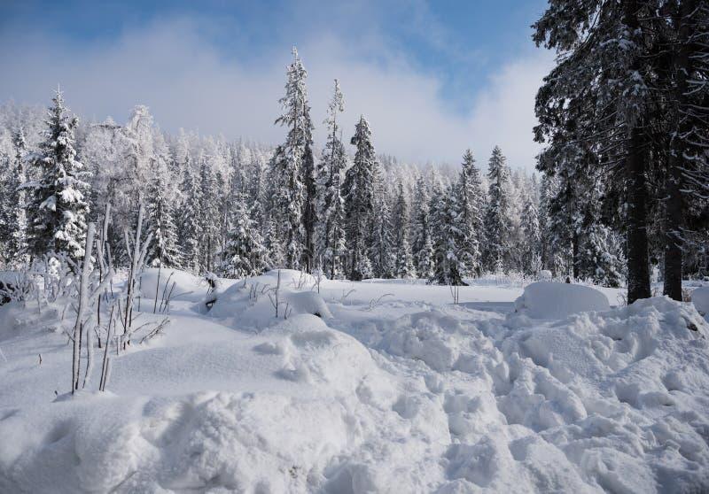 Sapins sous la neige photo stock