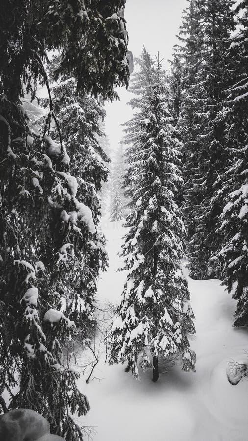 Sapins sous la neige dans la forêt de montagne en hiver photo stock