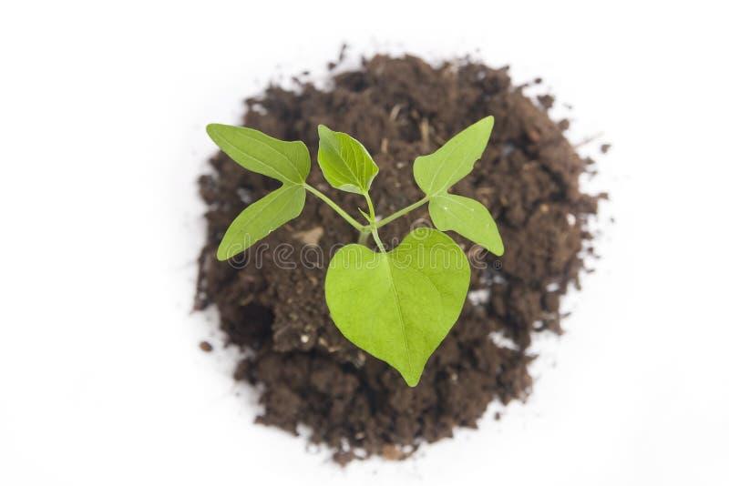 Sapling. A small sapling with soil royalty free stock photos