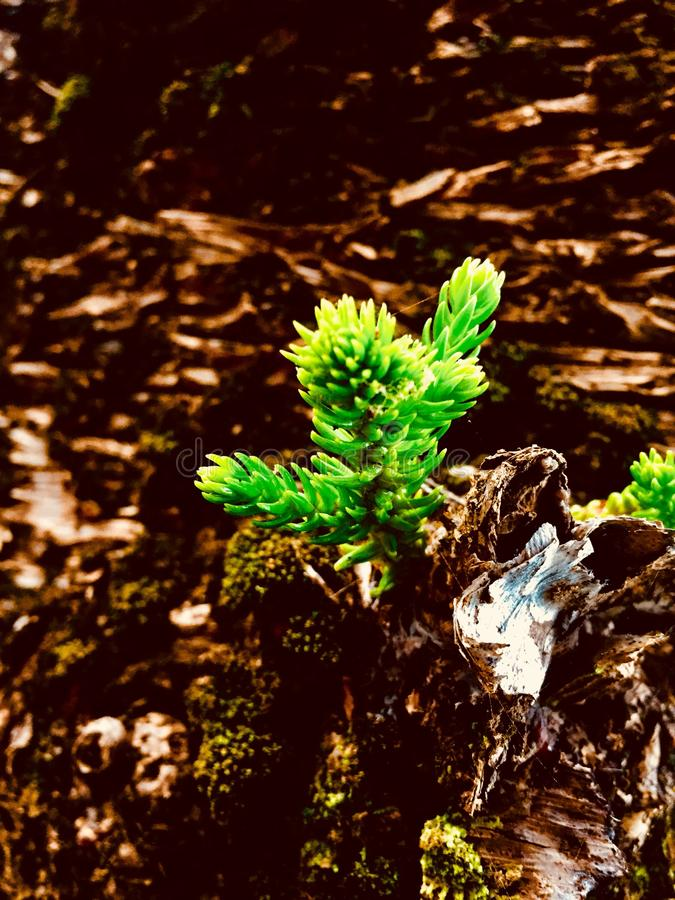 Sapling. A cute little sapling I spotted on a walk royalty free stock photo