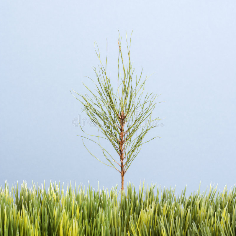 Sapling growing. Tiny pine sapling growing in strip of artificial green grass against blue background royalty free stock photos