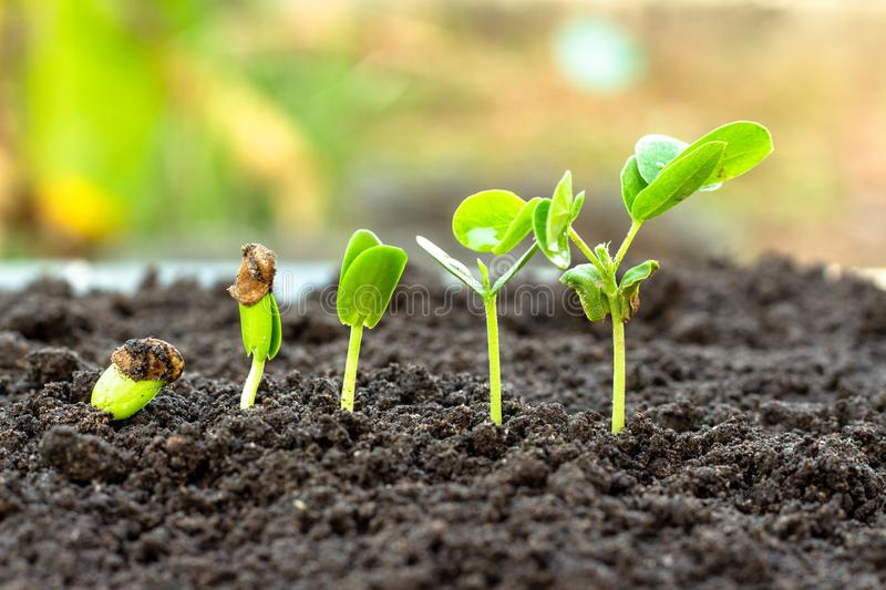 .Sapling growing from the ground royalty free stock image