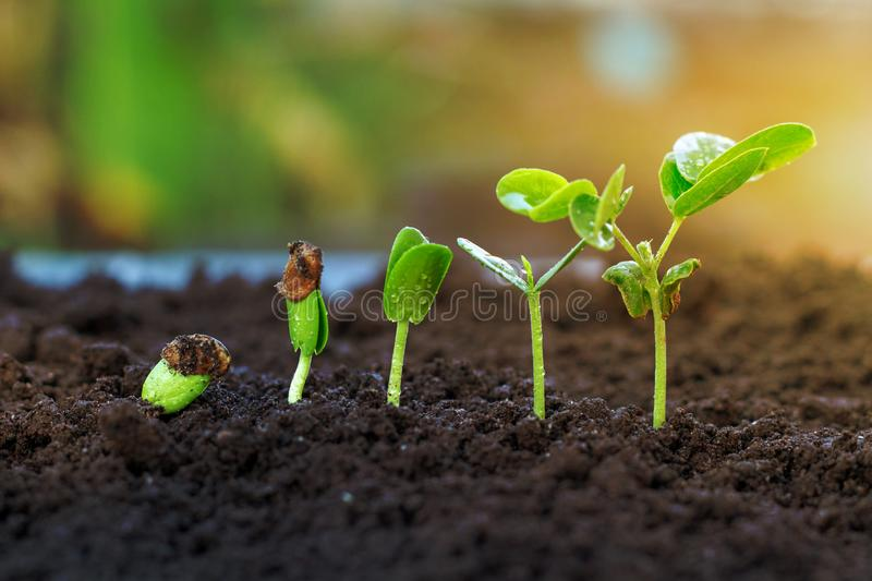Sapling growing. From the ground stock photos