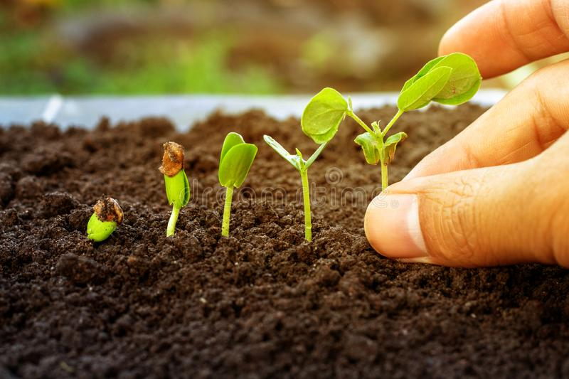 .Sapling growing from the ground. Sapling growing from the ground royalty free stock image
