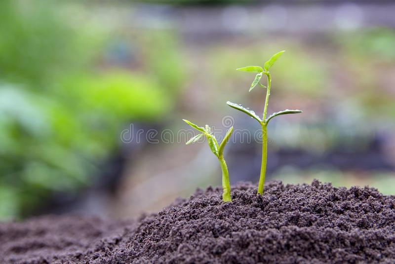 Sapling growing from the ground stock images