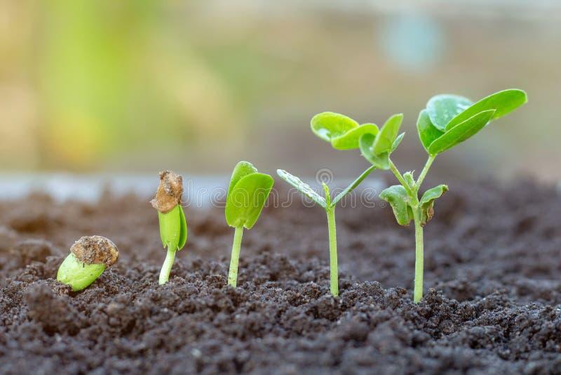 .Sapling growing stock photography