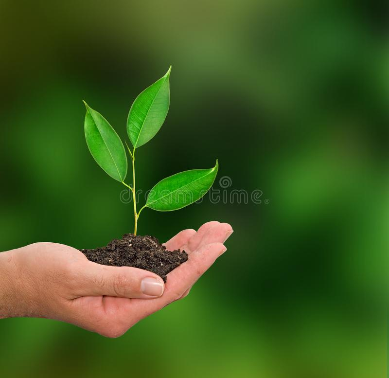 Sapling in hand. As gift stock images