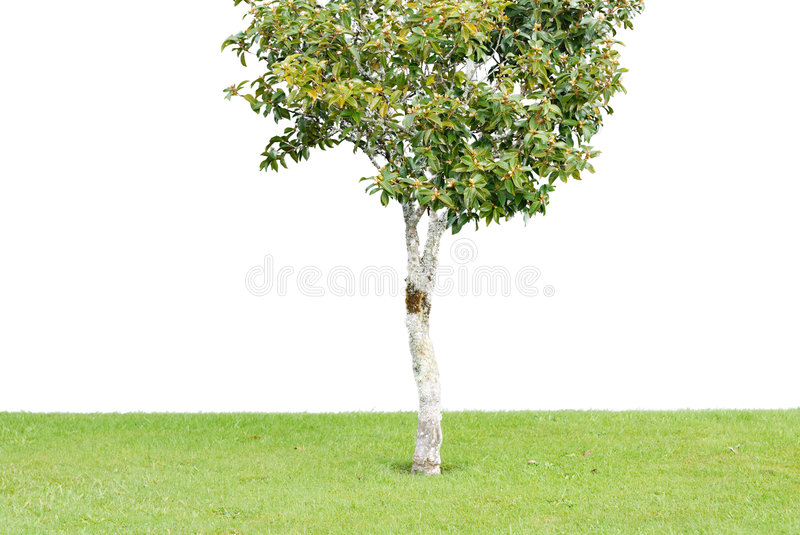 Sapling on the lawn. With white background stock photo