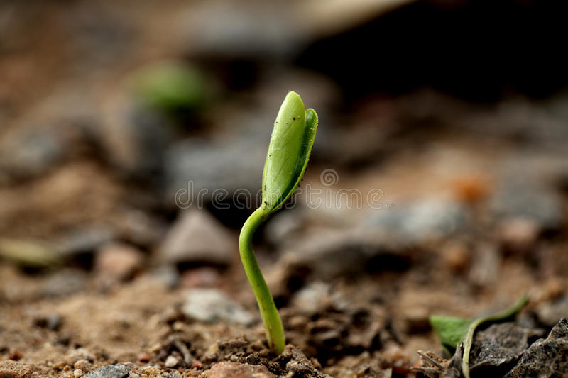 Sapling-New life. Plant growing from soil- Beginning stock images