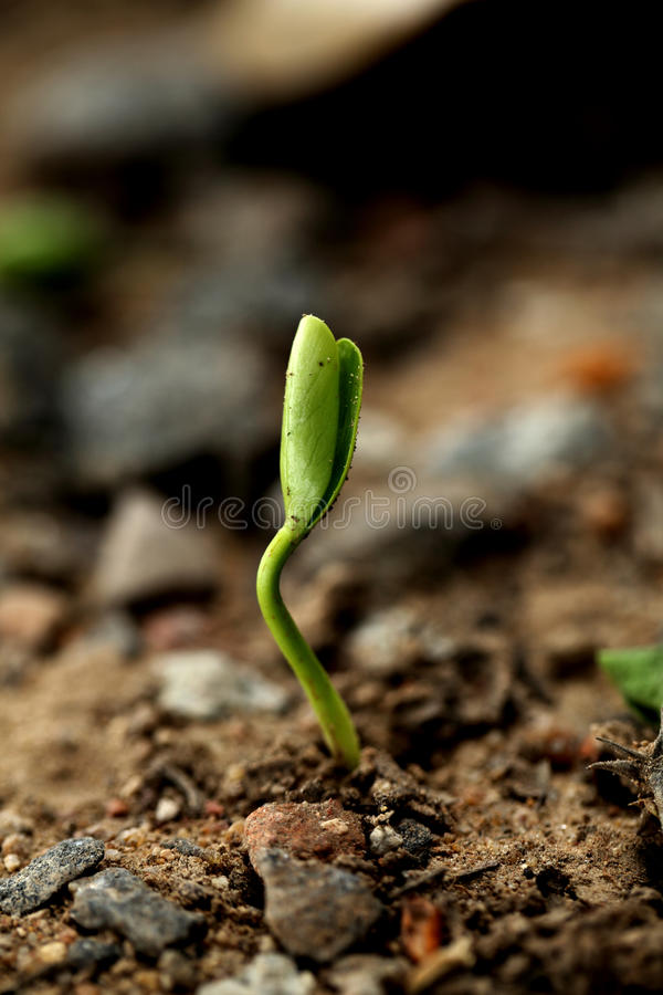 Sapling-New life. Small baby plant growing from soil- Beginning stock photography