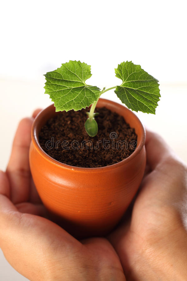Sapling-New life royalty free stock photo