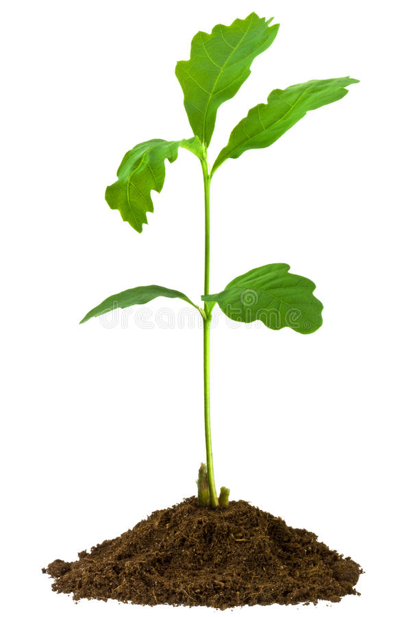 Sapling oak, isolated on a white background. 1-month Sapling oak grown from an acorn stock photography