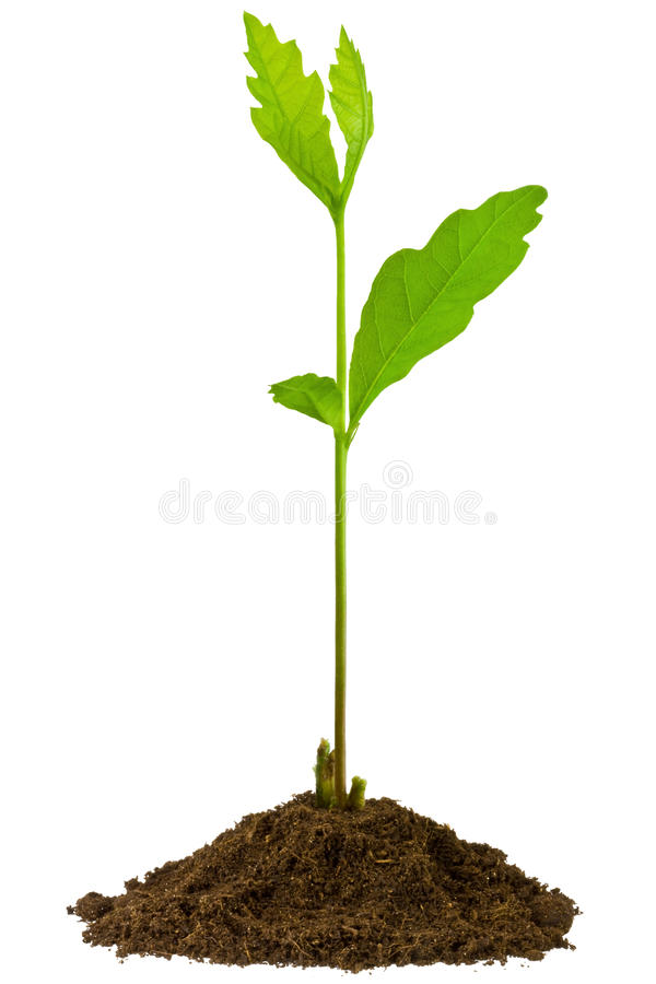 Sapling oak, isolated on a white background royalty free stock photos