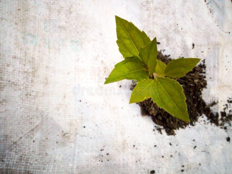 Sapling roślina zdjęcia stock