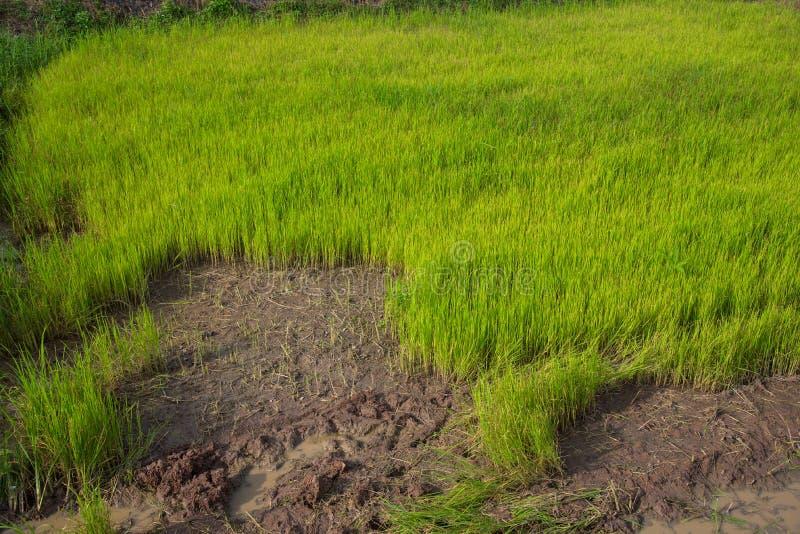 Sapling ryż, Rice eksporty fotografia royalty free
