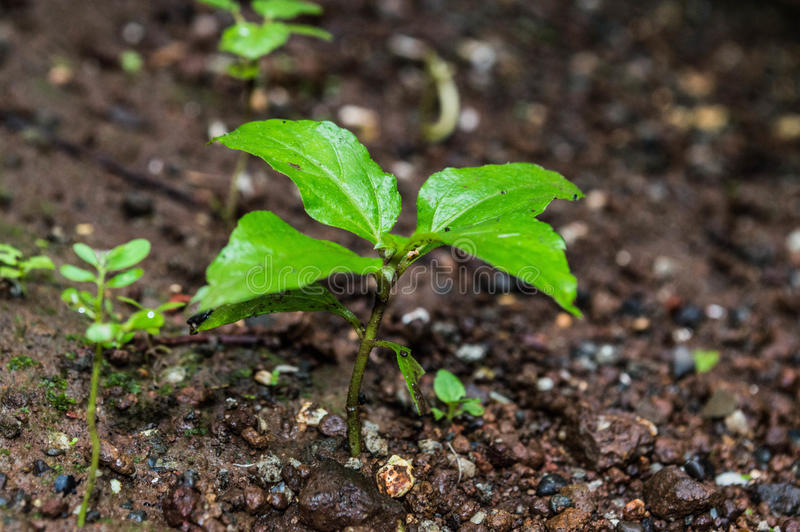 Sapling. Small sapling growing from earth. Tree. green royalty free stock photography