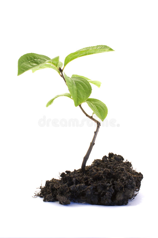 Sapling. Small Sapling Isolated on a White Background stock photo
