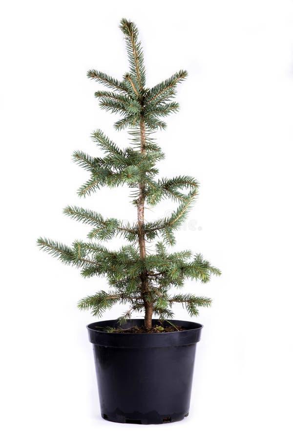 Sapling of spruce stock image