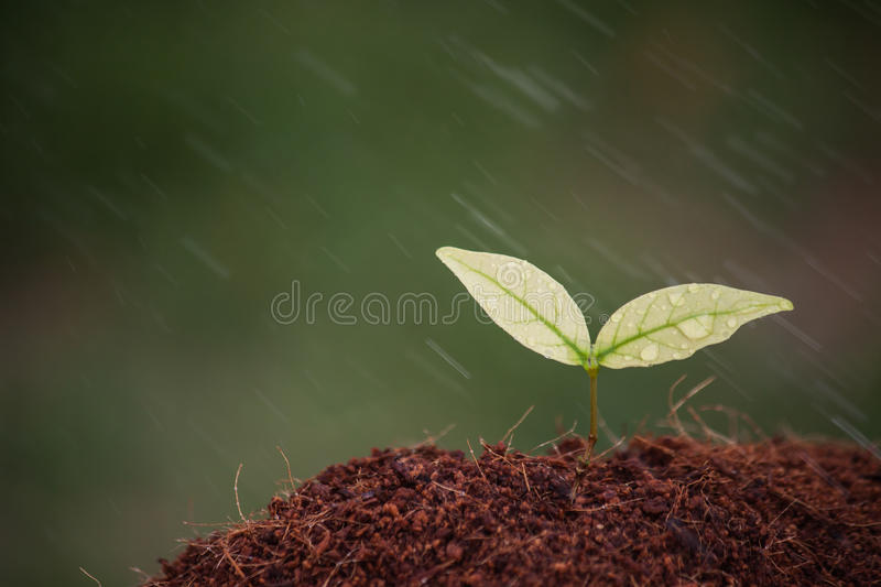 Sapling. Of the tree and raining royalty free stock photography
