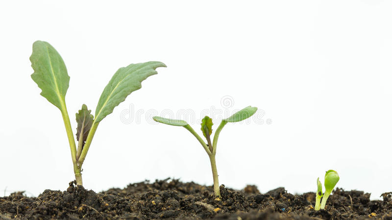 Sapling of a tree. On a white background stock photography