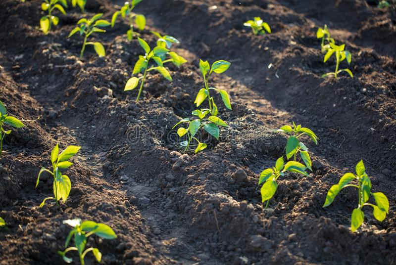Saplings of paprika in the soil in the garden royalty free stock images