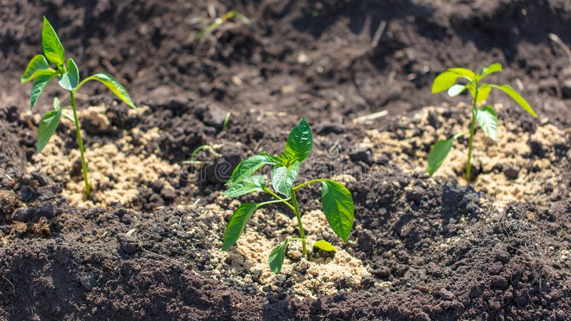 Saplings of paprika in the soil in the garden royalty free stock image