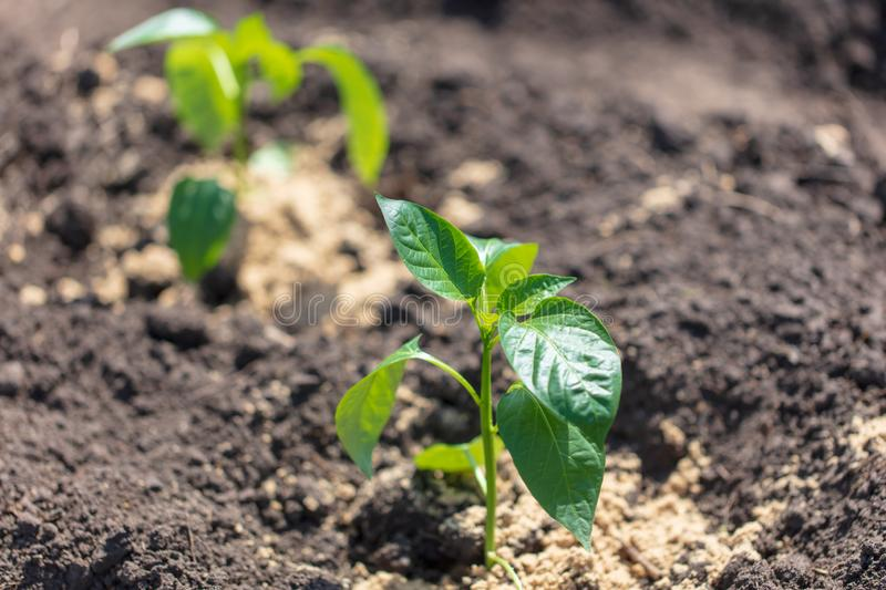 Saplings of paprika in the soil in the garden royalty free stock photos