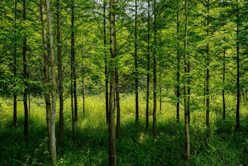 Saplings in sunny summer morning. Chongzhou,Sichuan Prov.,China royalty free stock photography