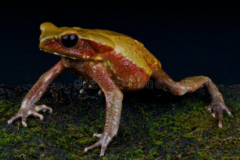 Download Sapo dorado stock photo. Image of guttatus, rainforest - 24079426