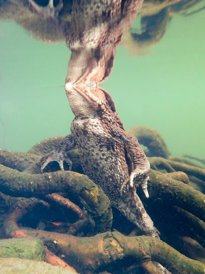 Sapo europeu fêmea, bufo de Bufo Close up subaquático com reflexão fotos de stock royalty free