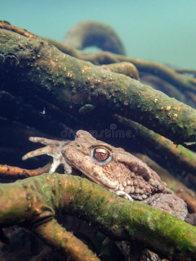 Sapo europeu fêmea, bufo de Bufo Macro, subaquático fotografia de stock royalty free