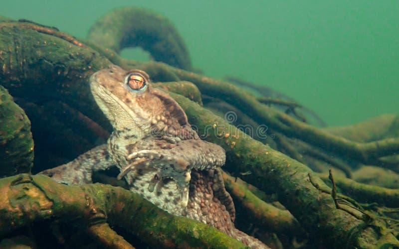 Sapo europeu fêmea, bufo de Bufo Macro, subaquático imagem de stock royalty free