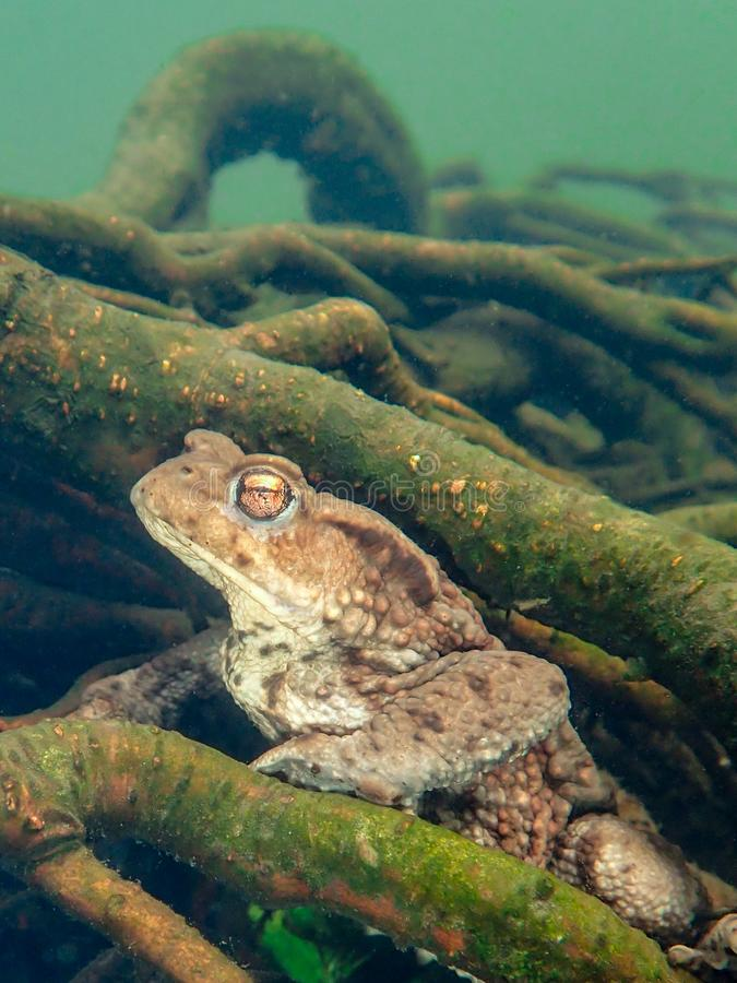 Sapo europeu fêmea, bufo de Bufo Macro, subaquático fotos de stock royalty free