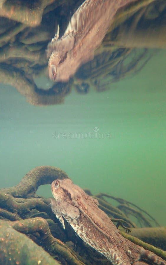 Sapo europeu fêmea, bufo de Bufo Macro, subaquático imagem de stock