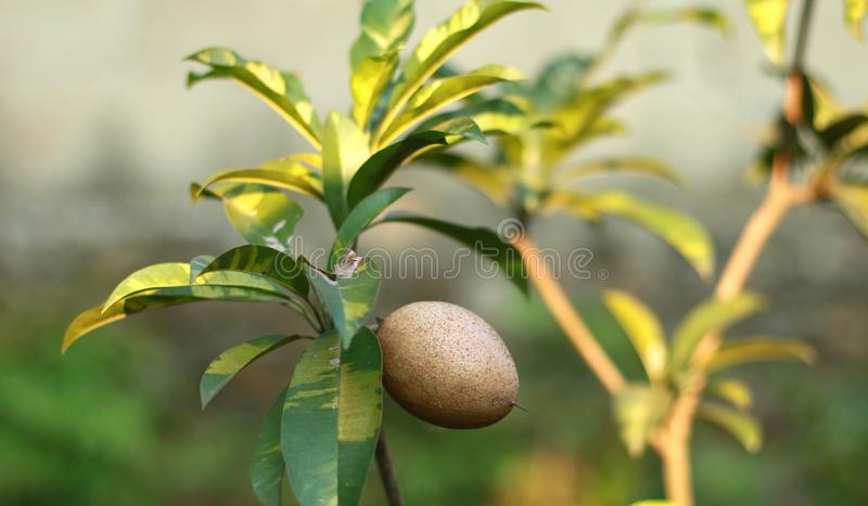 Sapodilla owoc na drzewie zdjęcie royalty free