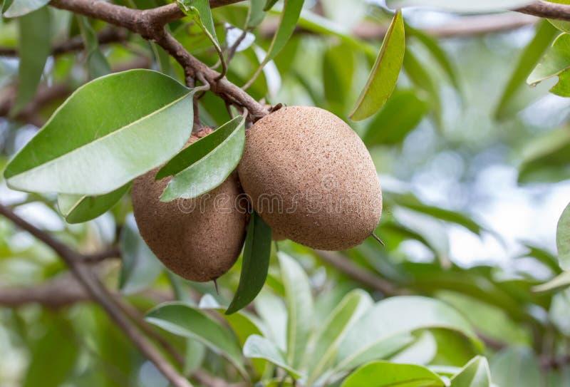 Sapodilla owoc na drzewie w ogródzie fotografia royalty free