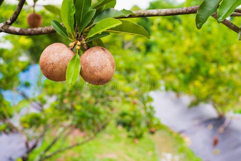 Sapodilla owoc na drzewie w organicznie ogródzie zdjęcie stock