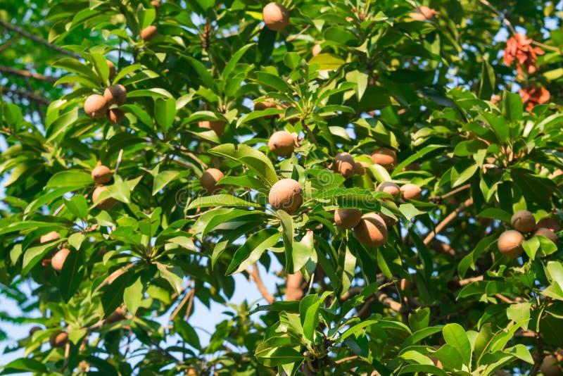 The sapodilla on the trees royalty free stock image