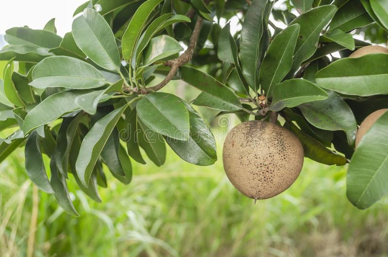 Sapodillafrukt på lövrik filial royaltyfri bild