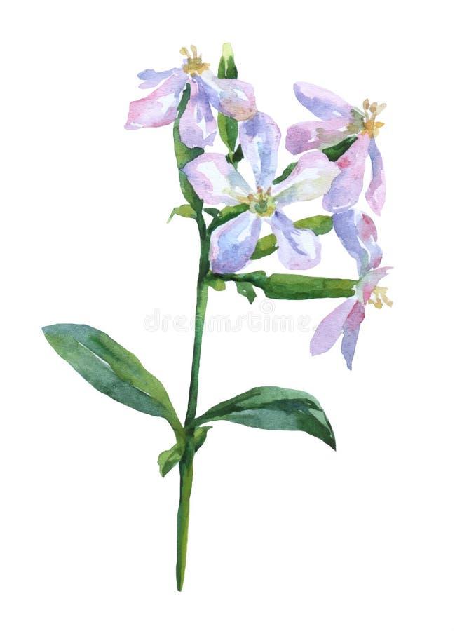 Saponariaofficinalis stock illustrationer