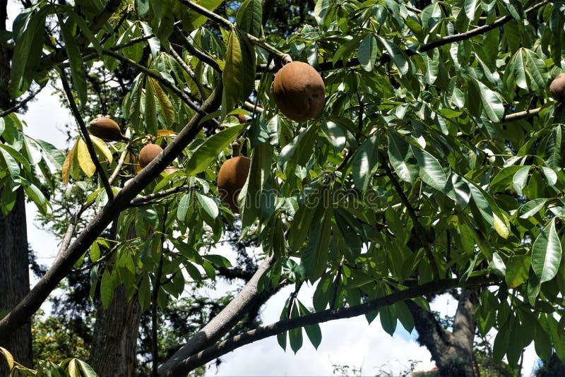 Sapota - frutti di manilkara zapota macchiati in San José fotografia stock