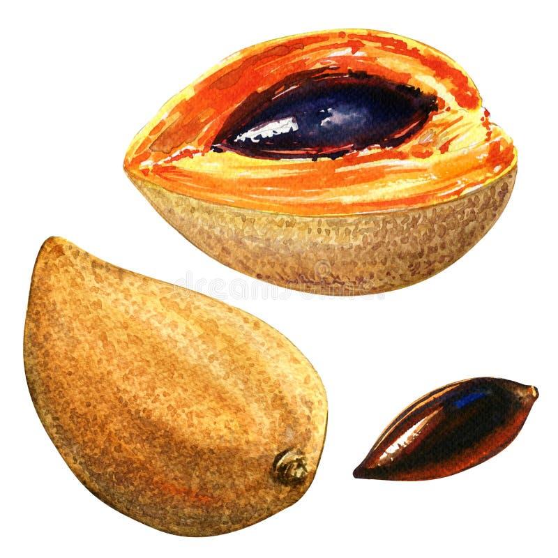 Sapote de Mamey, Lucuma, fruta del huevo, Canistel, aislado, ejemplo de la acuarela stock de ilustración