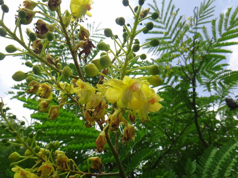 Sappanwood inflorescence - gul blomma royaltyfria foton