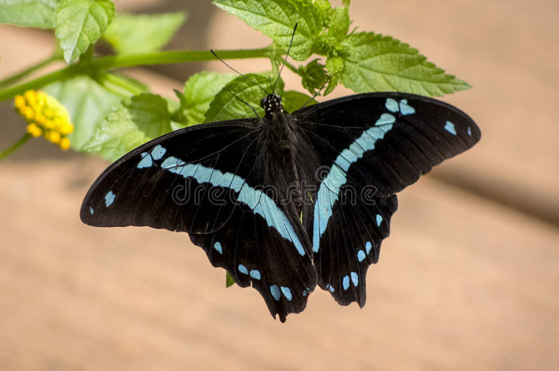 Download Sapphire Butterfly nera fotografia stock. Immagine di pendenza - 55357250