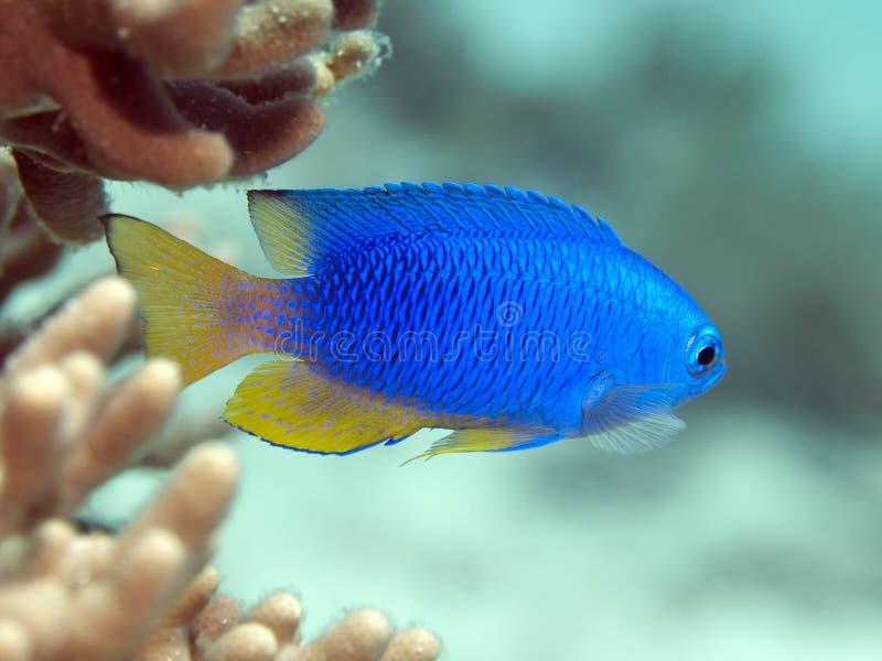 Sapphire damsel. In Bohol sea, Phlippines Islands stock photo