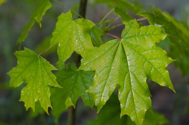 Sappig groen blad van een jonge esdoorn na een regen stock afbeelding
